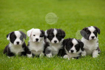 Welsh Corgi (Cardigan) Puppies Stock Image