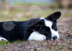 Cardigan Corgi Puppy Stock Photo