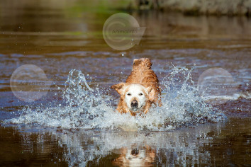 Golden Retriever Splashing Through Water Stock Image