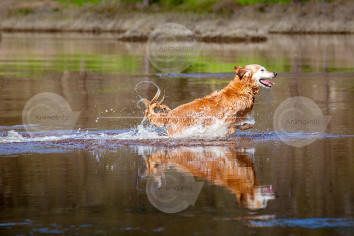 Golden Retriever in the Water Stock Image