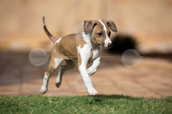 Italian Greyhound Puppy Galloping Photo