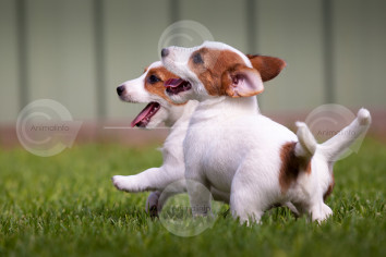 Jack Russell Puppies Playing Stock Photo