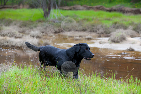 Labrador On the Bank of a River Stock Image