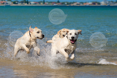 Labrador Pups Galloping at the Beach Image