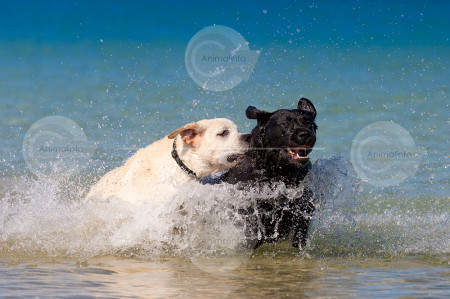 Labradors leaping through the ocean stock image.