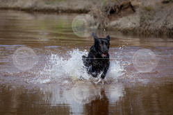 Labrador Splashing through a River Image