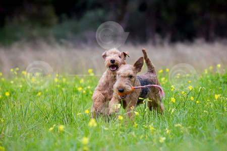 Lakeland Terriers Playing Photo