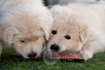 Maremma Puppies Stock Image
