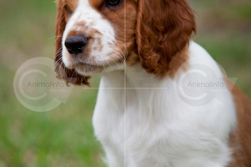 Welsh Springer Spaniel Puppy Portrait