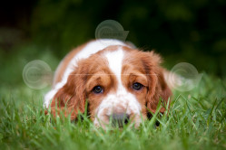 Welsh Springer Spaniel Puppy Photo