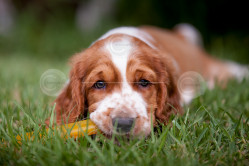 Welsh Springer Spaniel Puppy Stock Photo