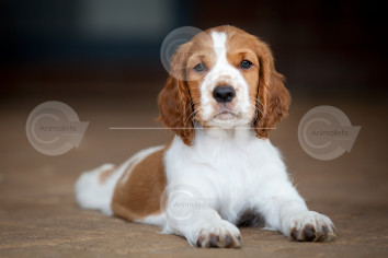 Welsh Springer Spaniel Puppy Stock Image