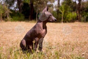 Xoloitzcuintle Puppy Stock Image