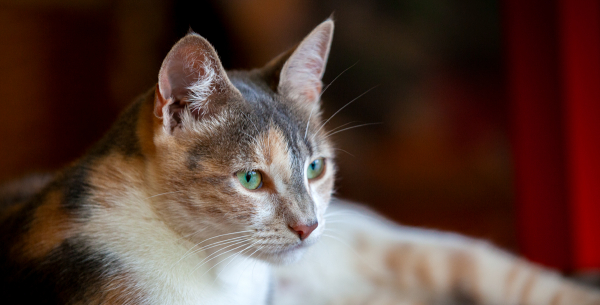 Domestic Cat - Living with the Household Cat