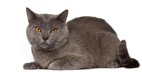 Chartreux, the blue cat from France