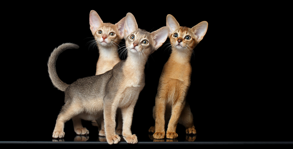 Abyssinian Cats - Breed Profile