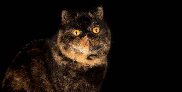 Exotic (or Exotic Shorthair) Cats