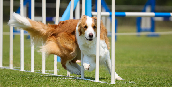 Dog Agility Competition in Australia