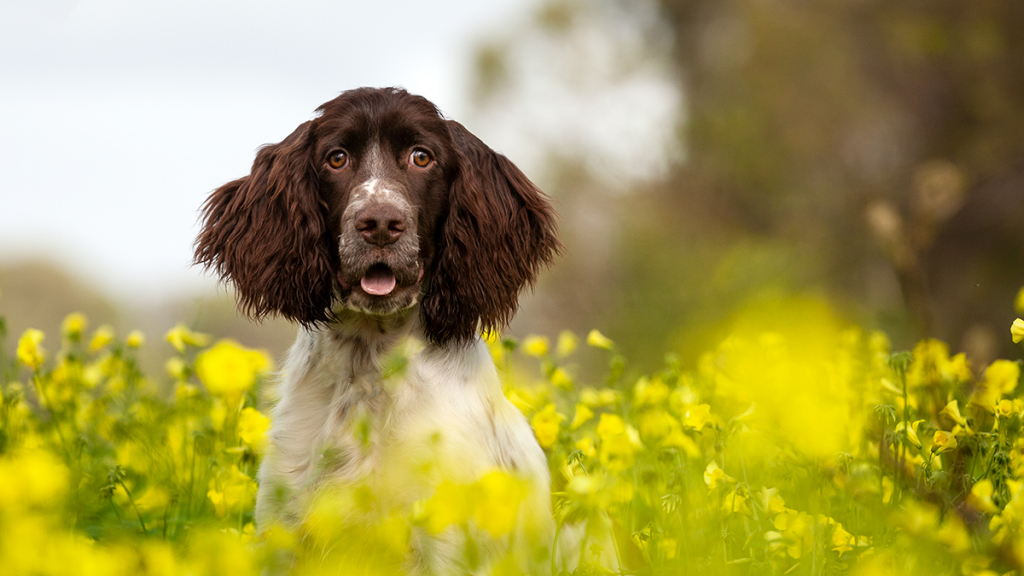 Seborrhoea in English Springer Spaniels
