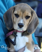 Quality Beagles from Houndmaster Beagles