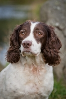 Field Springer Spaniels, English Cockers and Labradors from Druimmuir Spaniels