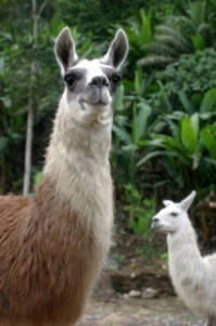 Llama Association of Australasia Inc (LAA)