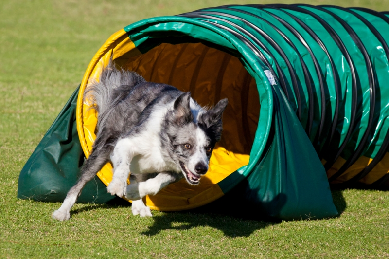 Agility Dog Association of Australia Ltd (ADAA)