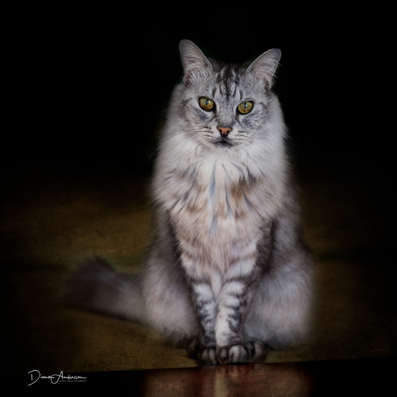 Cat Photographer Perth - Animal Images Pet Photography