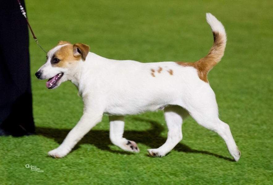 BATTLESTAR, JACK RUSSELL TERRIER BREEDER, PERTH