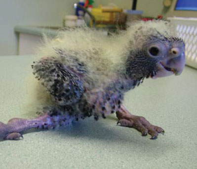 Red-tailed Black Cockatoo Chick