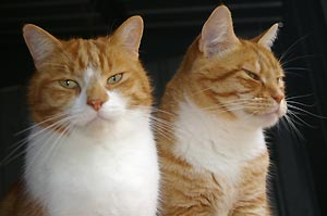 Ginger and white domestic cats
