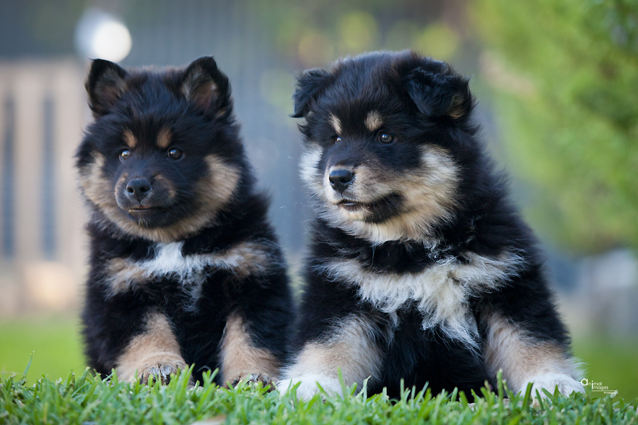 Finish Lapphund puppies