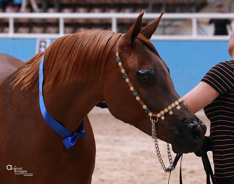 Arabian Horse Breeders