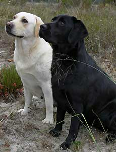 Yellow and Black Labradors